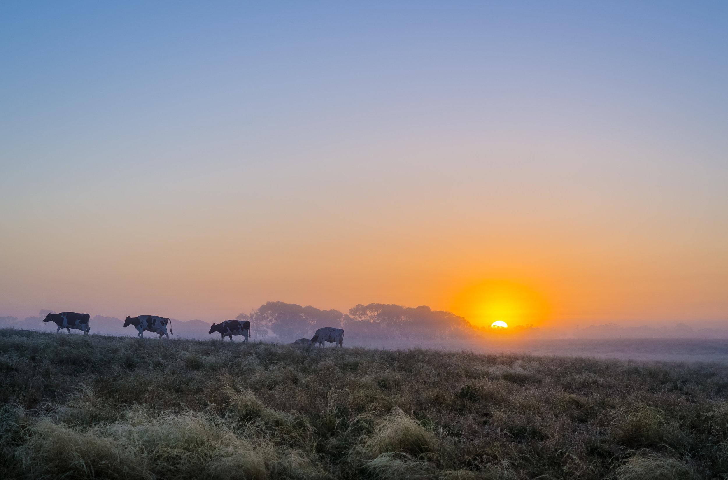 Cows at dawn.jpg