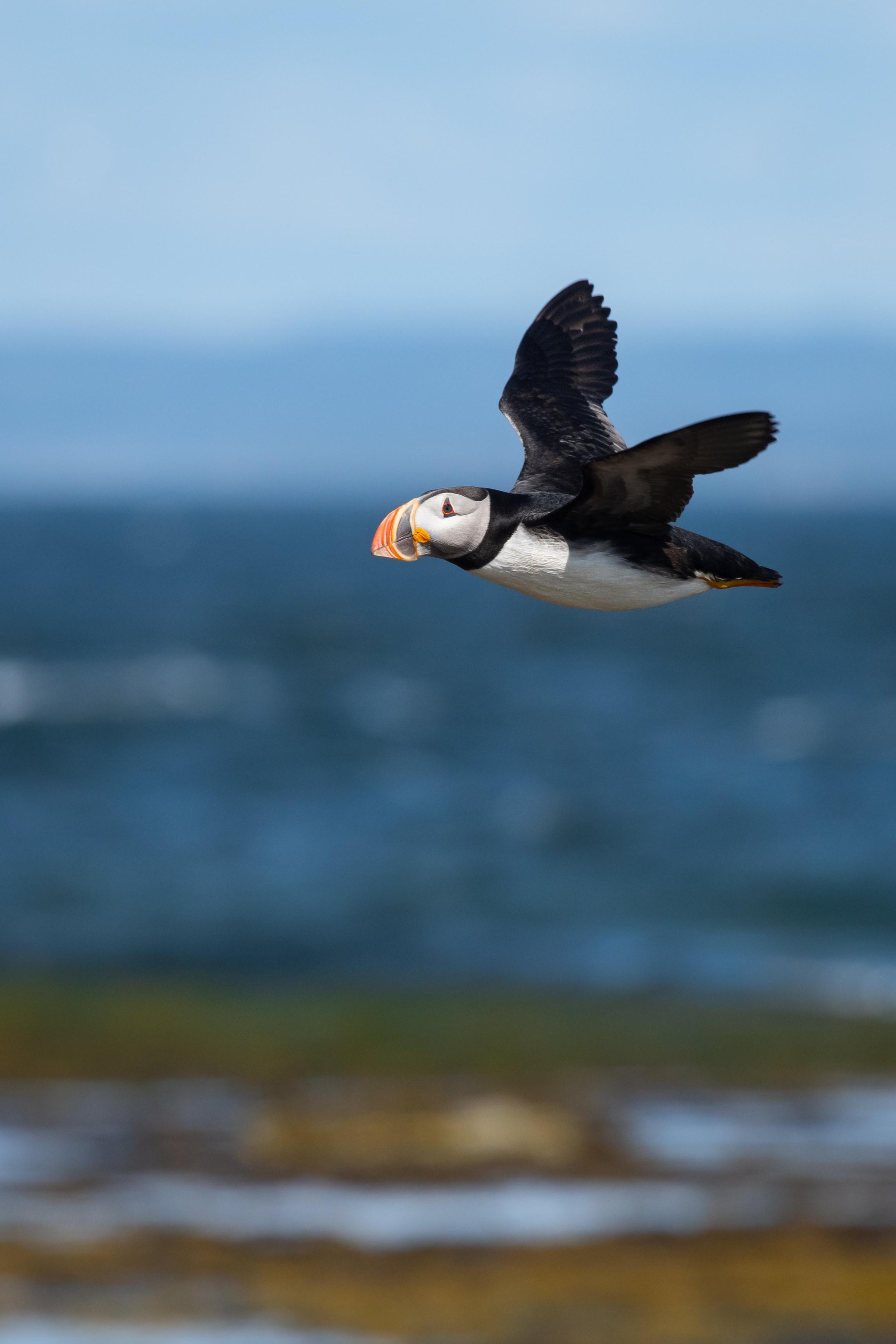 Macareux en vol, on voit très bien sont habitat, c'est qui rend cette photo unique selon moi : zone de marée basse, mer, montagne et ciel!