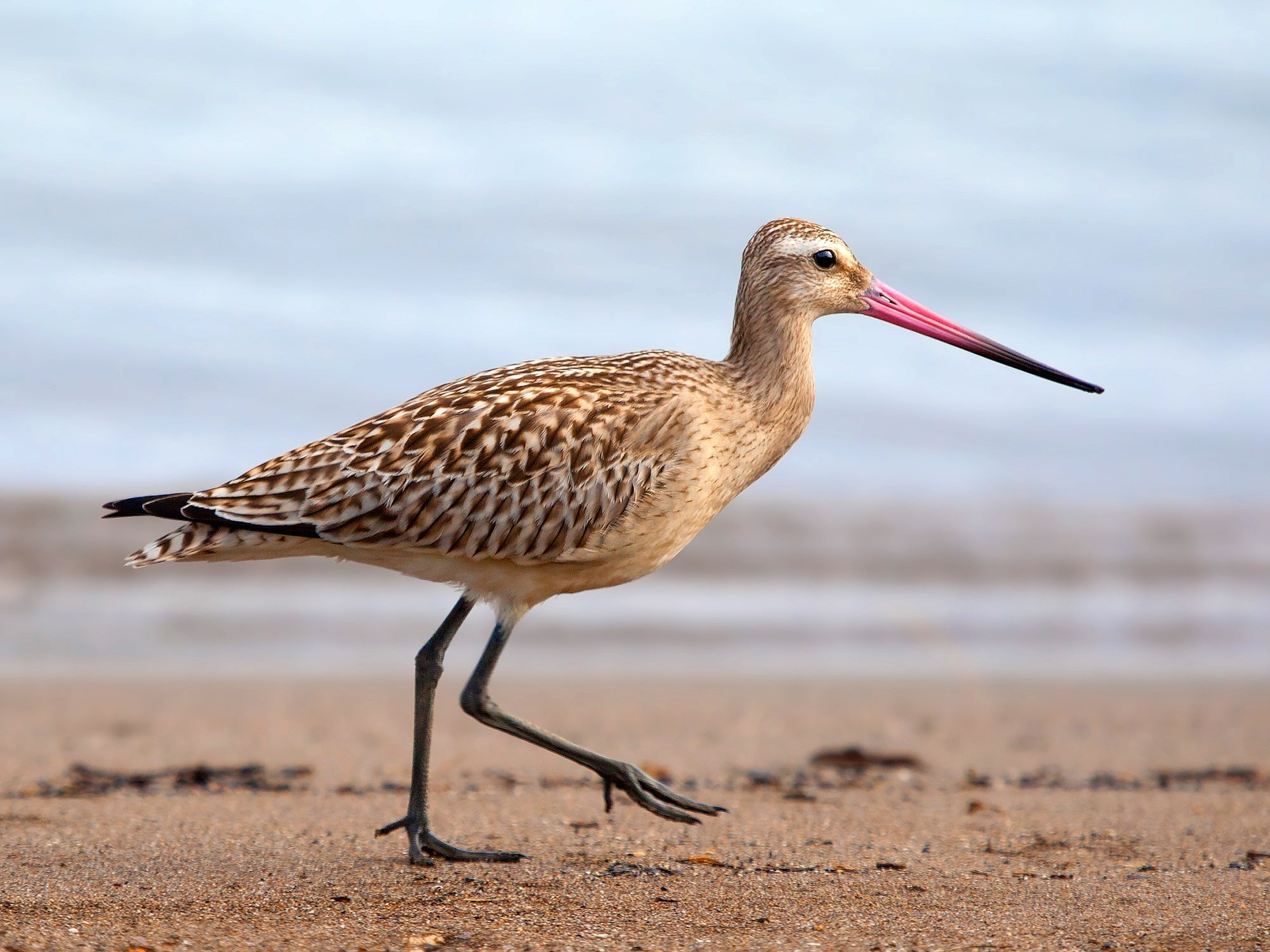 The Bar-tailed Godwit is the focus of Jeannie Baker's latest picture book. Photo by    Kaz, sourced from Pixabay    and used with permission via the    Pixabay License   .