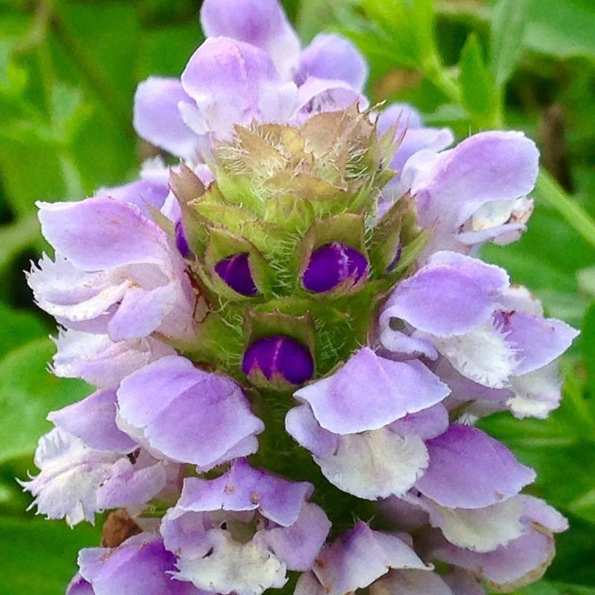 Prunella vulgaris.jpg