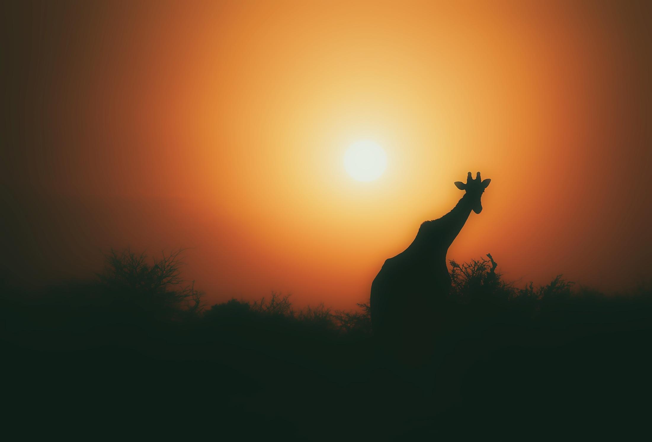 giraffe-1900652.jpg