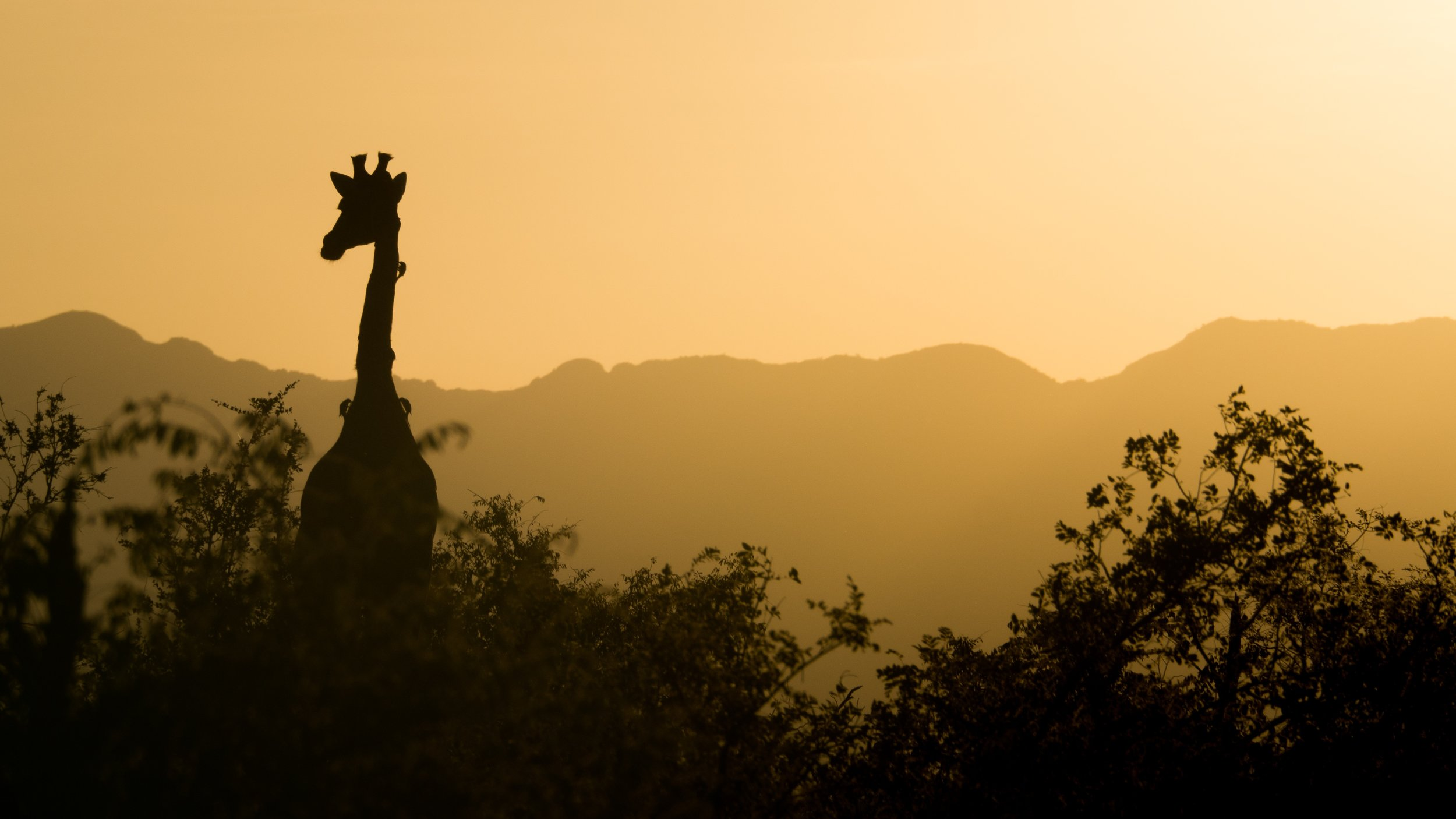 giraffe-2233366.jpg