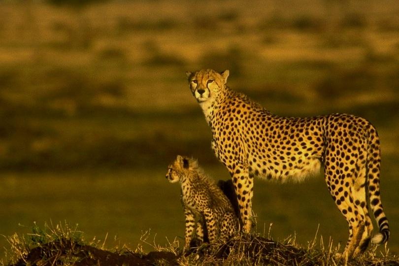 Cheetah Safari Kenya - 10 dage fra Dkk 21.900,-