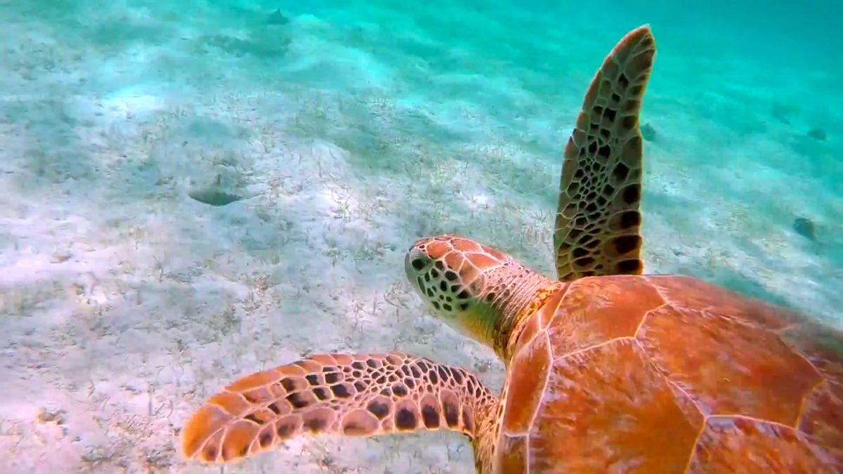 snorkeling-turtle-tobago-cays-grenadines-e1477972817137.jpg