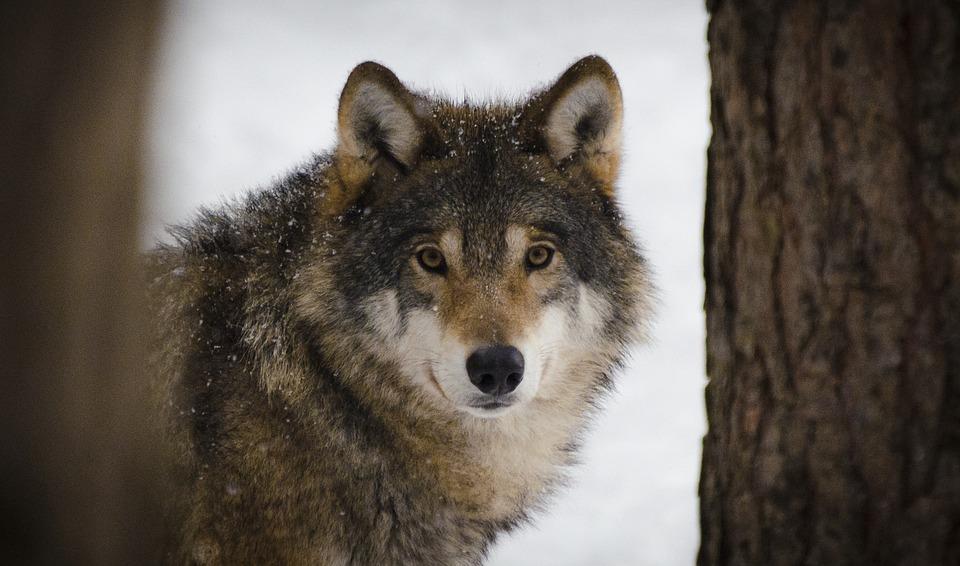 wolf-2106894_960_720.jpg