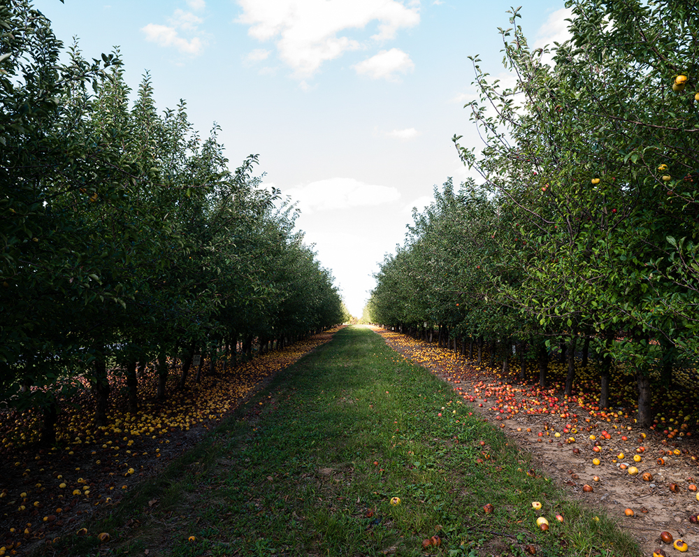 Apple Collection, USDA ARS Plant Genetic Resources Unit    Geneva, New York, USA