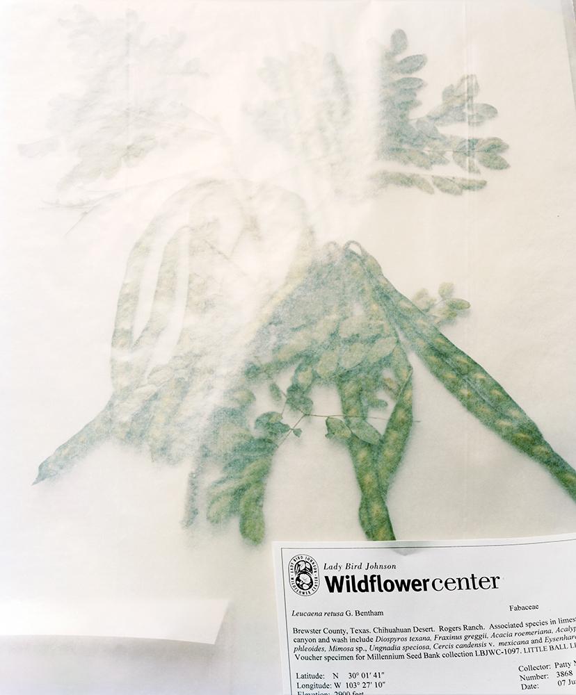 Herbarium Voucher Specimen, Lady Bird Johnson Wildflower Center    Austin, Texas, USA