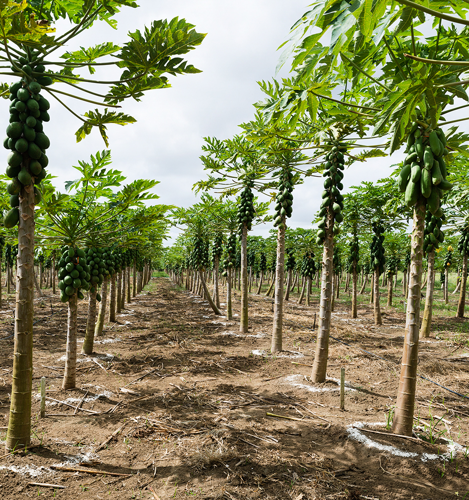 Papaya Collection, EMBRAPA Mandioca e Fruticultura    Cruz das Almas, Bahia, Brazil
