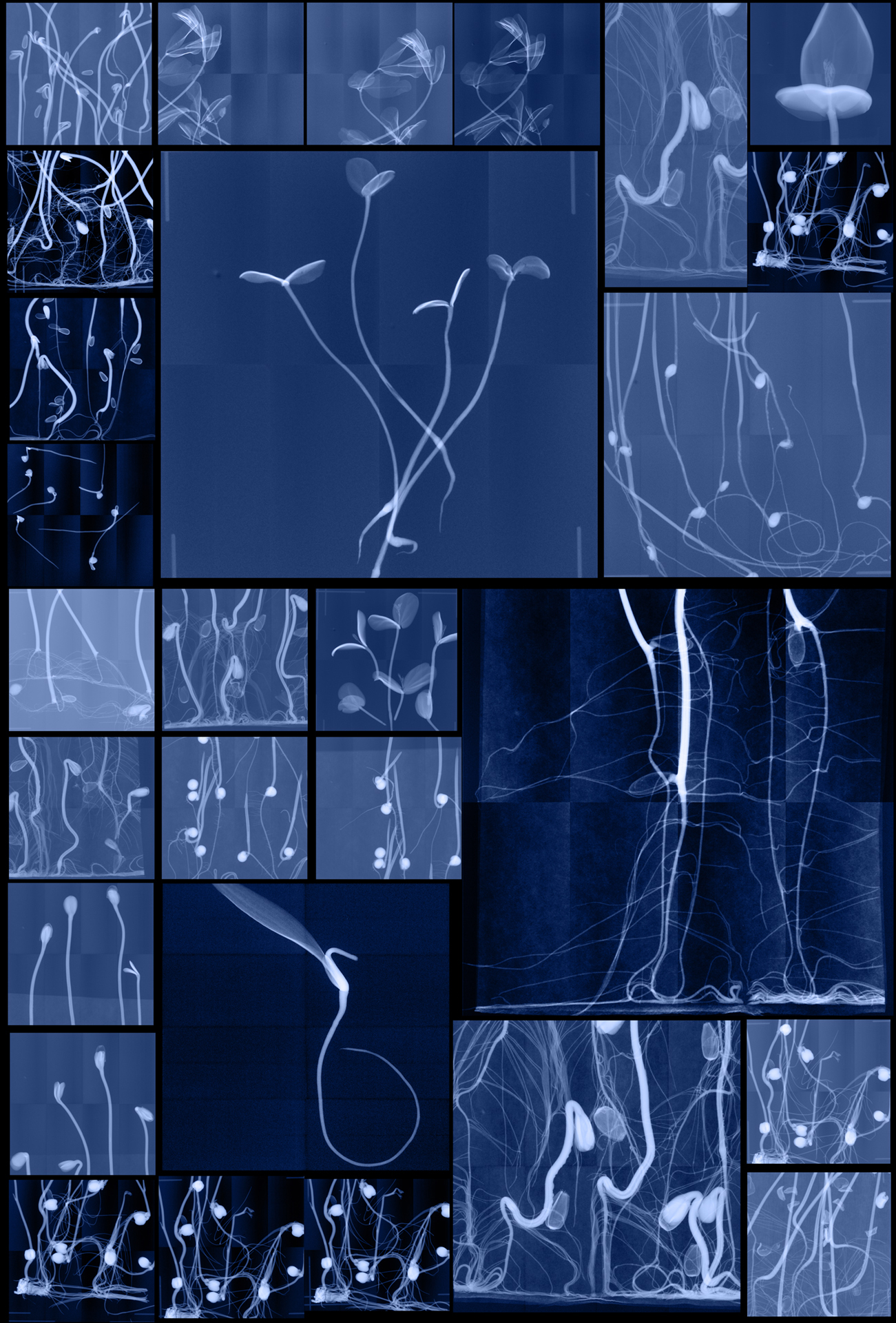 """Seedling Cabinet I   Digital Chromogenic Lenticular Prints, each 62"""" x 42""""  Digital collages made from x-rays captured at the National Center for Genetic Resources Preservation (USA) and the Millennium Seed Bank (England)"""