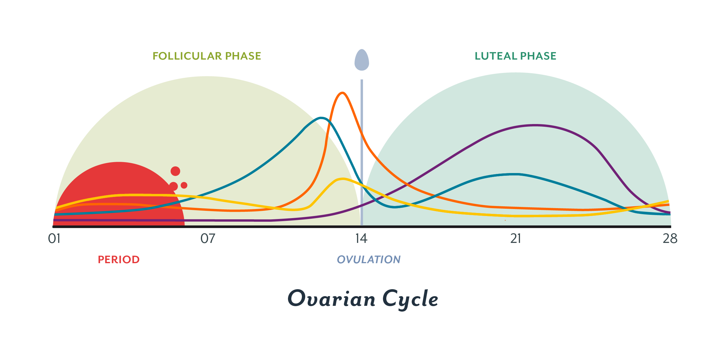 What_is_the_menstrual_cycle__contenful_inside_Cycle_ovarian_2x__2_.png