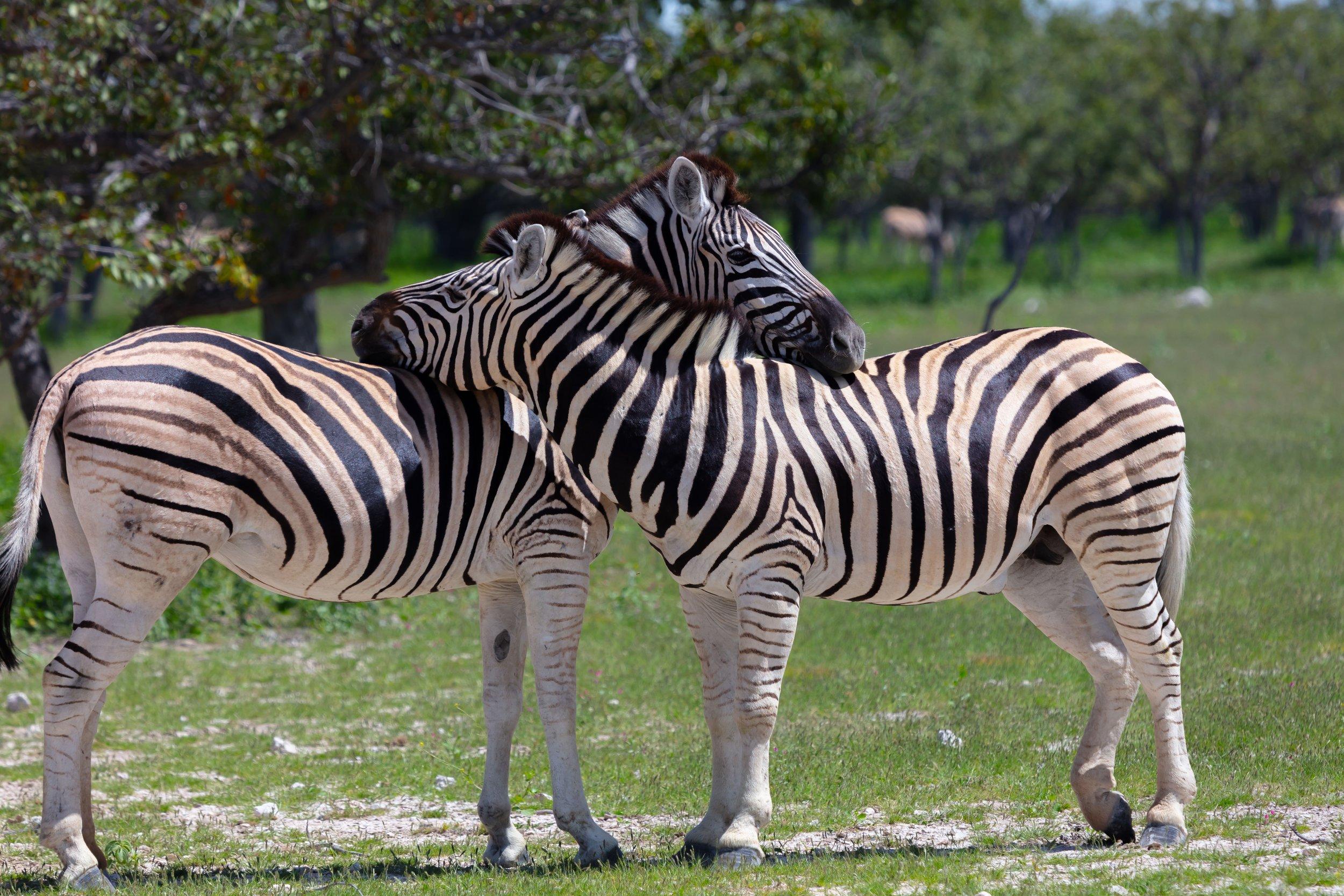 zebrashugging.jpg