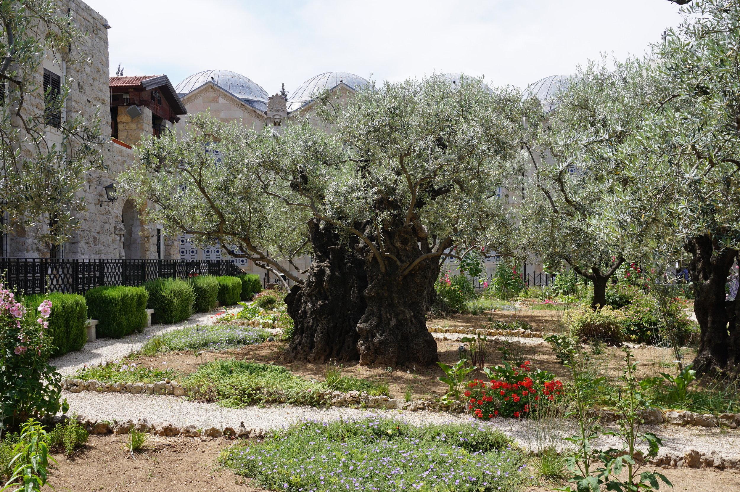 Garden of Gethsemane Jerusalem Israel 1.JPG