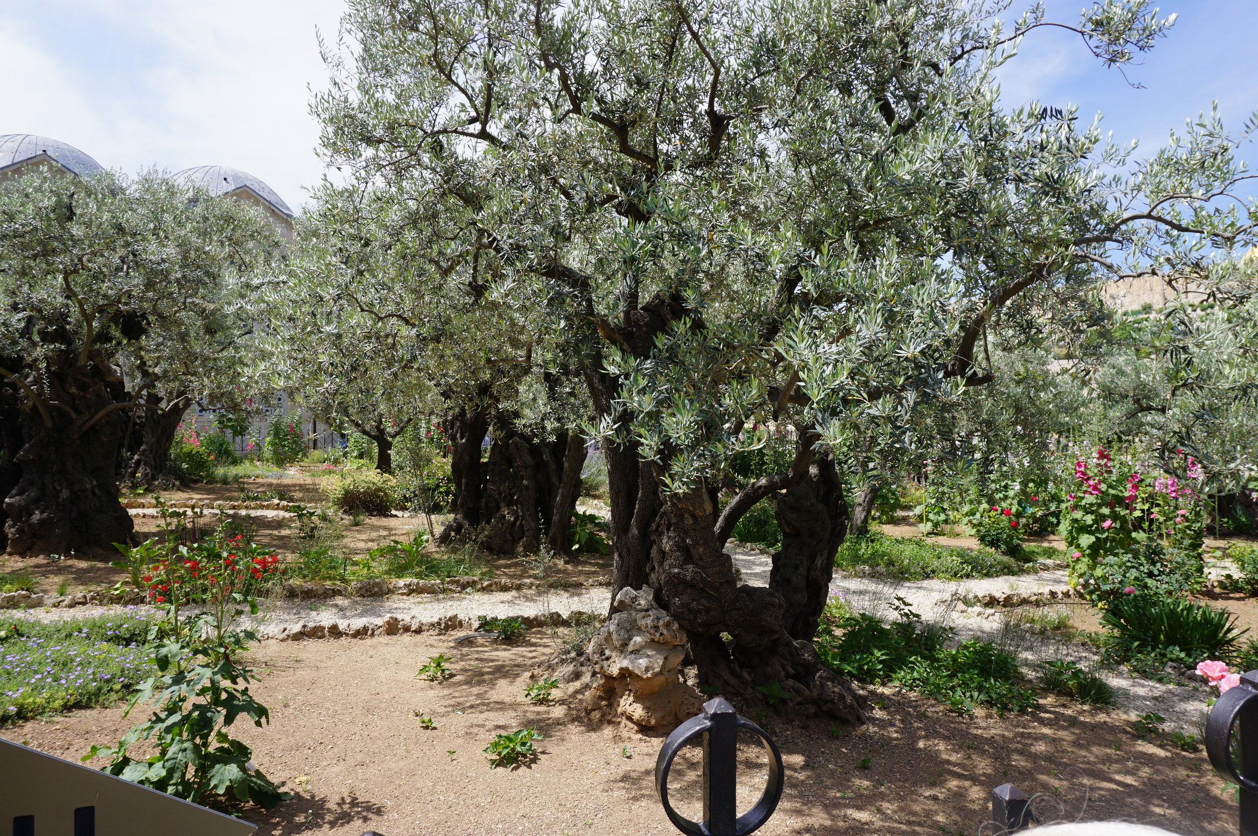 Garden of Gethsemane Jerusalem Israel.JPG