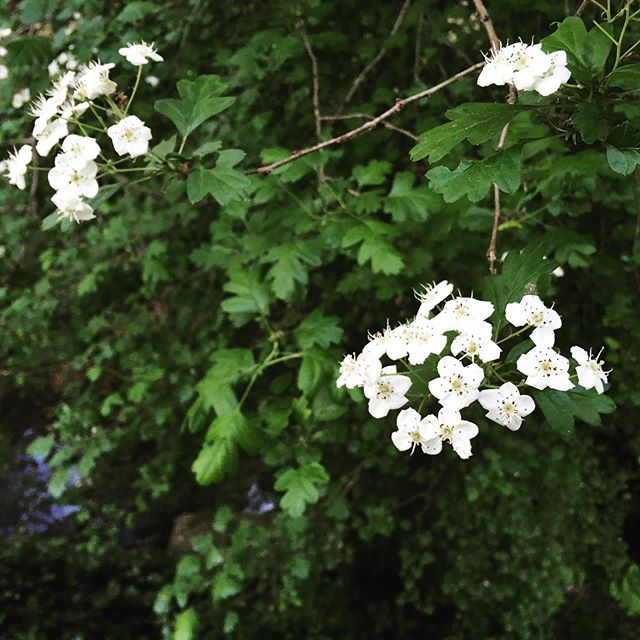 I tried to key this beauty out but hit a dead end. I think it's hawthorn - Crataegus monogyna. I guess it pops up here and there, though it's not native. There's a handful by the creek. Anyone want to weigh in? Loving all the plants and flowers showing their sweet faces this spring.