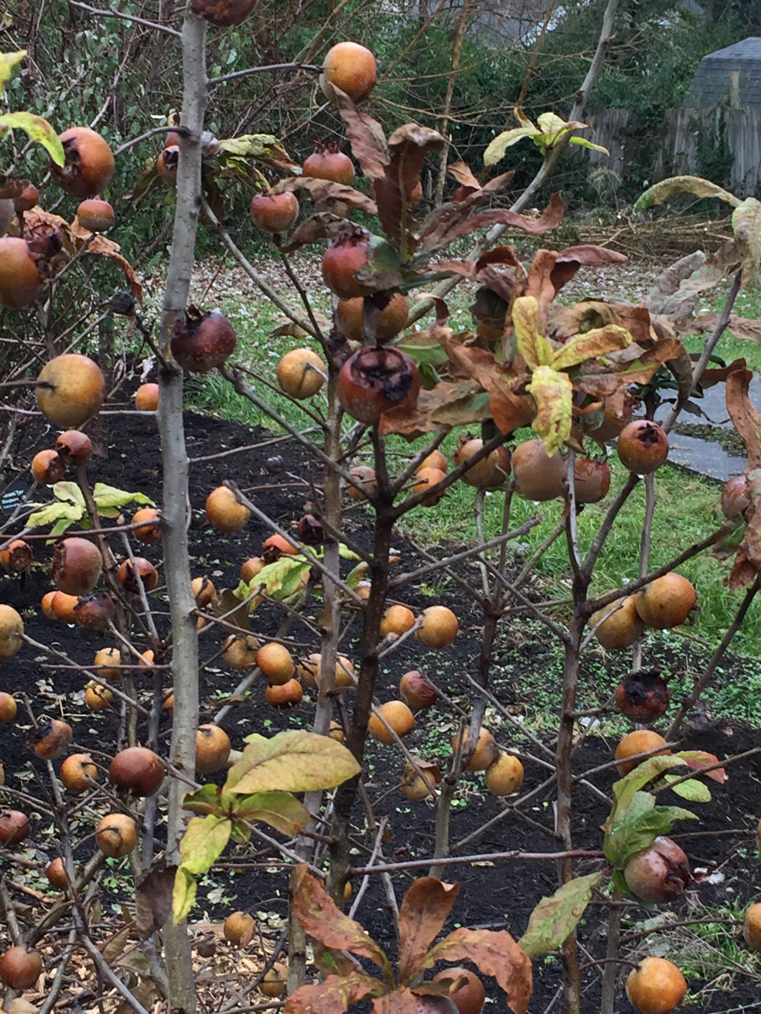 Medlars, ready to be plucked and eaten.