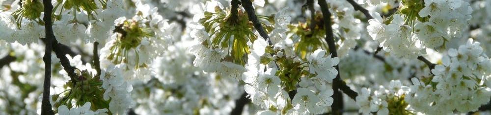 cherry-blossom-cherry-blossom-bloom-62291.jpg