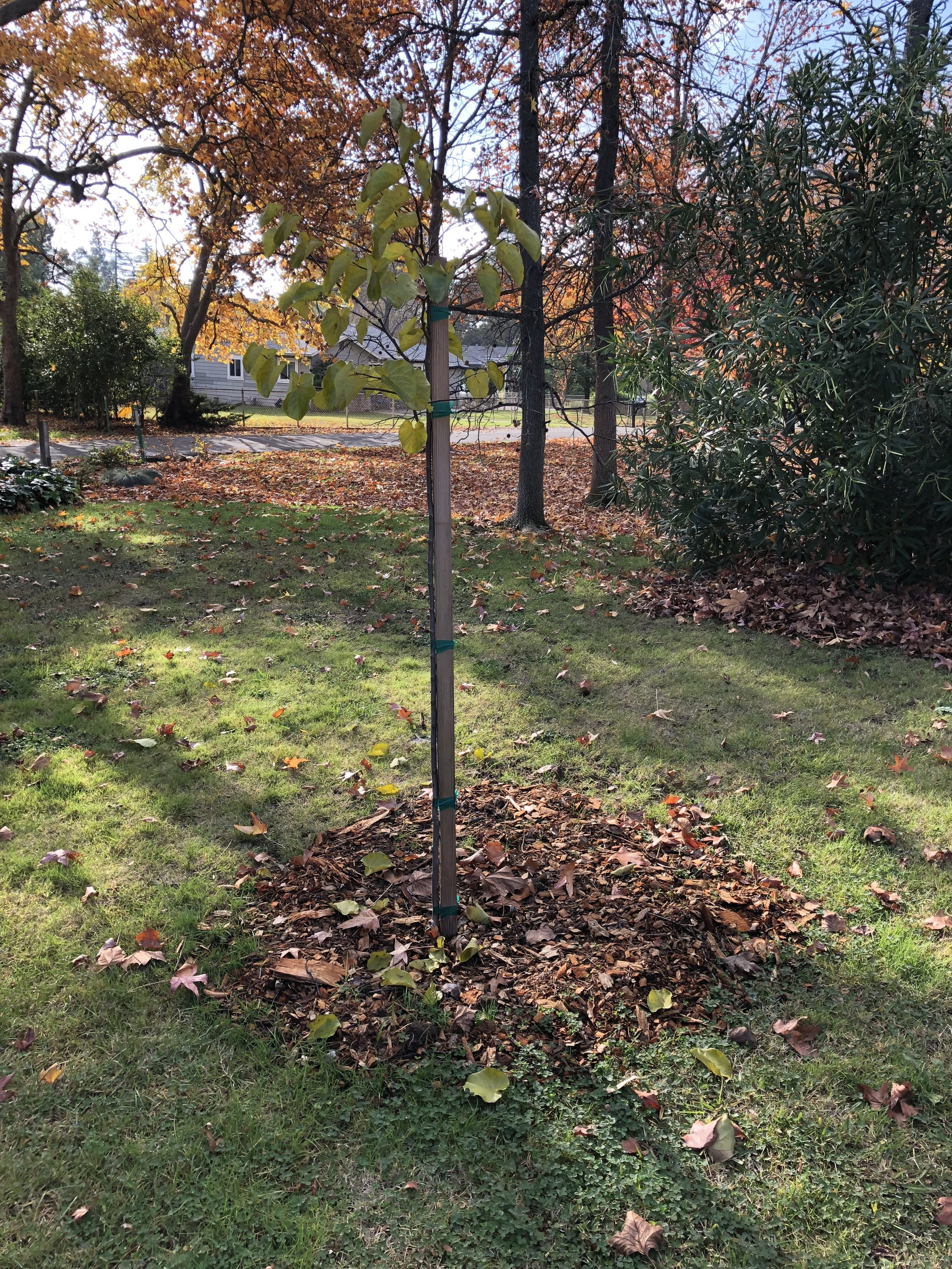 Our new redbud tree. She doesn't look like much now, but just give her a bit of time.