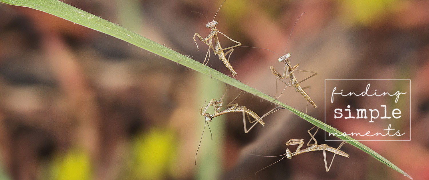 Hatching-Praying-Mantis-At-Home.jpg