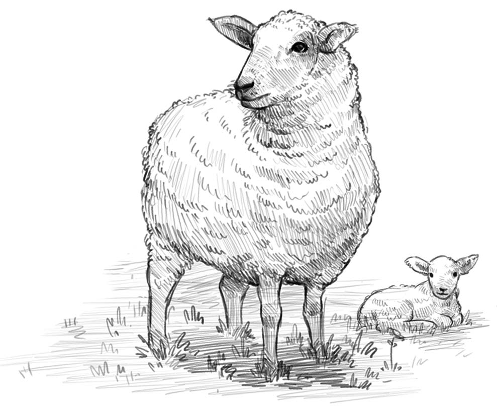 Sheep_02_WhiteBG2.jpg