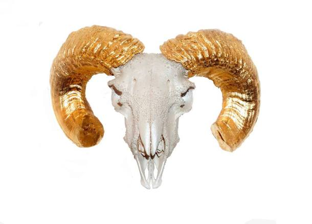24k Gold Leaf and Pearl Shimmer Curled Horned Ram Skull.jpg