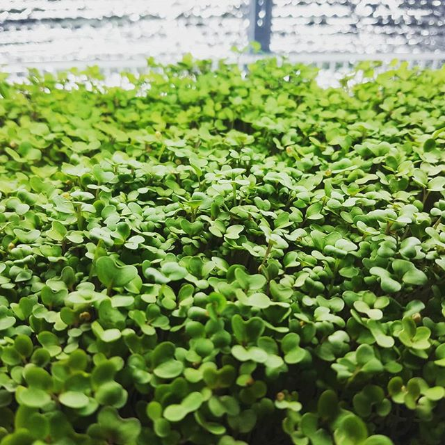 Spicy mustard, this little guy has a strong punch of spice #mustard #spicy #spicymustard #microgreens #urbanfarming