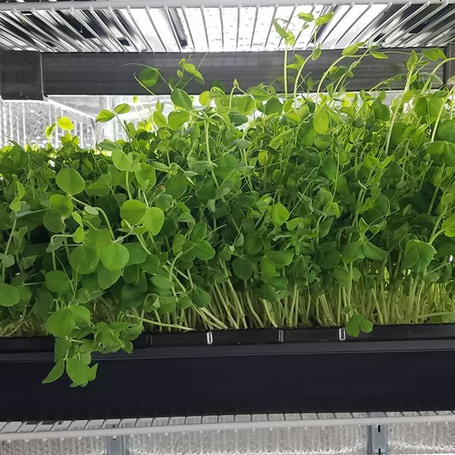 Getting ready for the last Nashua Farmers Market this Sunday from 10 to 2 downtown Main Street!  #microgreens #farmersmarket #nashua #downtown