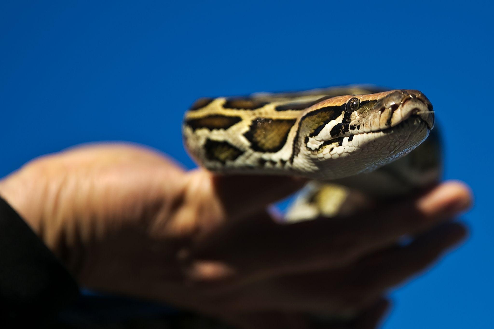 1458754553-snake-open.jpg