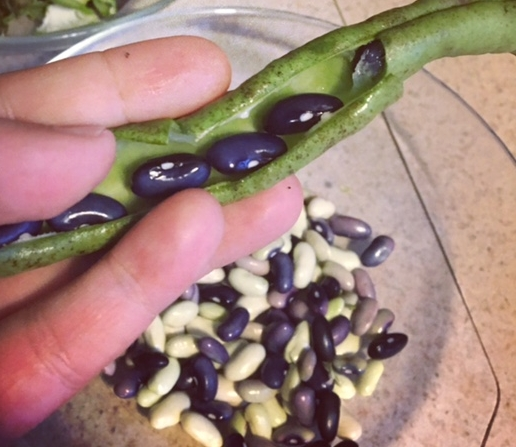 [Image: a hand holds an opened bean pot to reveal purple beans, while in the background rests a bowl of white and purple shelled beans]