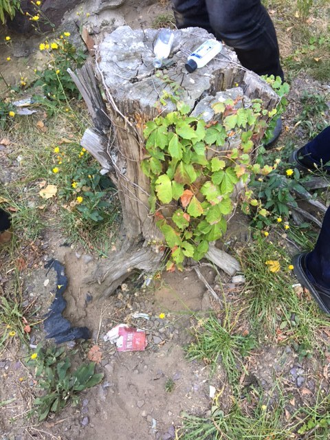 [Image: a tree stump covered in poison ivy and objects collected by the rat colony that lives below it, including small bottles. Surrounding it are grasses and buttercups (yellow flowers).]