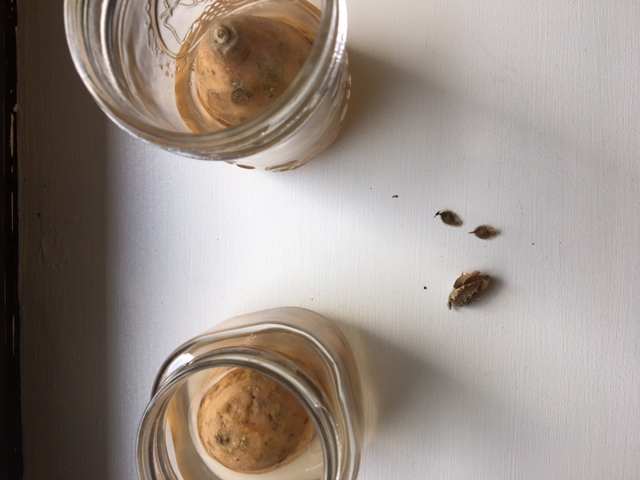 [Image description: two jars with half of a sweet potato in some water. Three brown seeds. All against a white background. A shadow lurks in the left corner.]