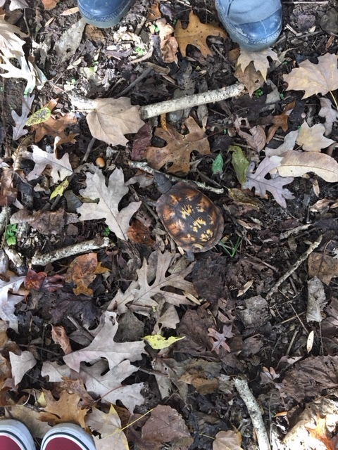Box turtle, autumn leaves, hiking toes, forest debris