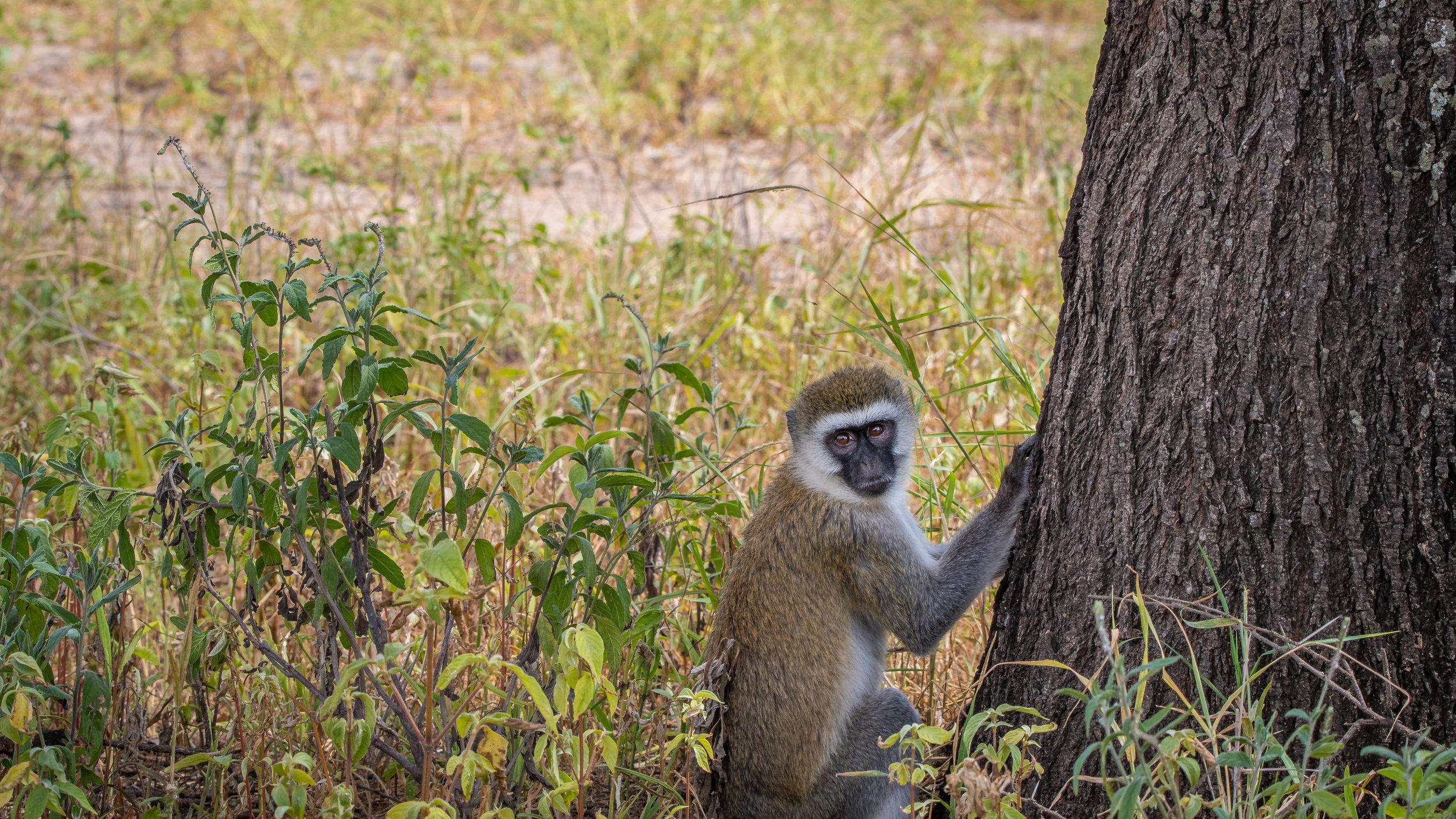 2018-3-6 - 01 Monkey and a tree.jpg
