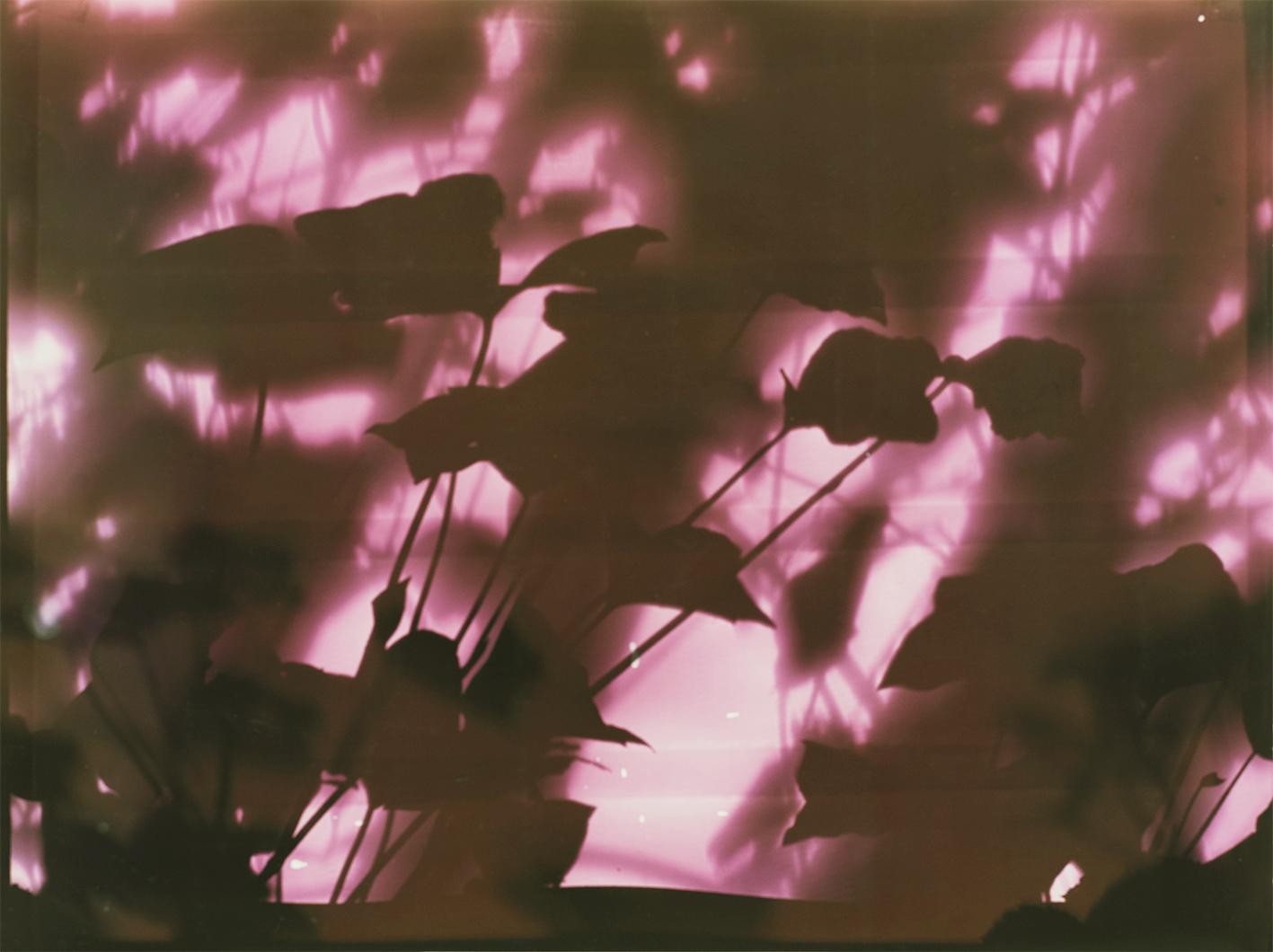 Gartenlaub, Fotogramm auf Farbumkehrpapier