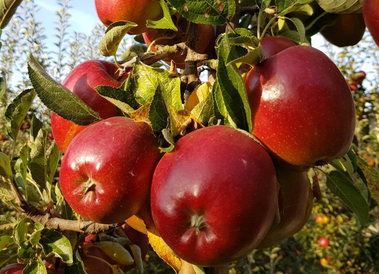 Braeburn Apple Harvest