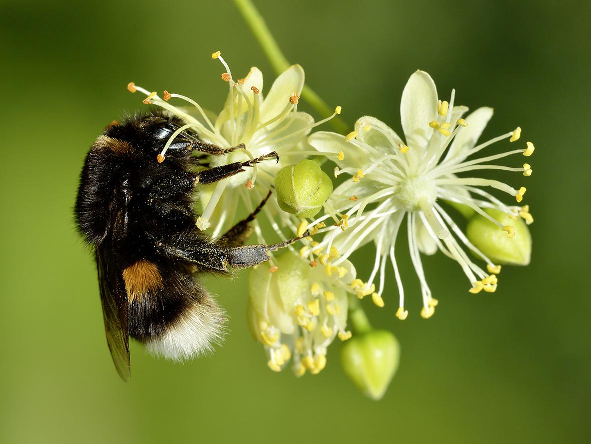 Look for buzzing Queen bees