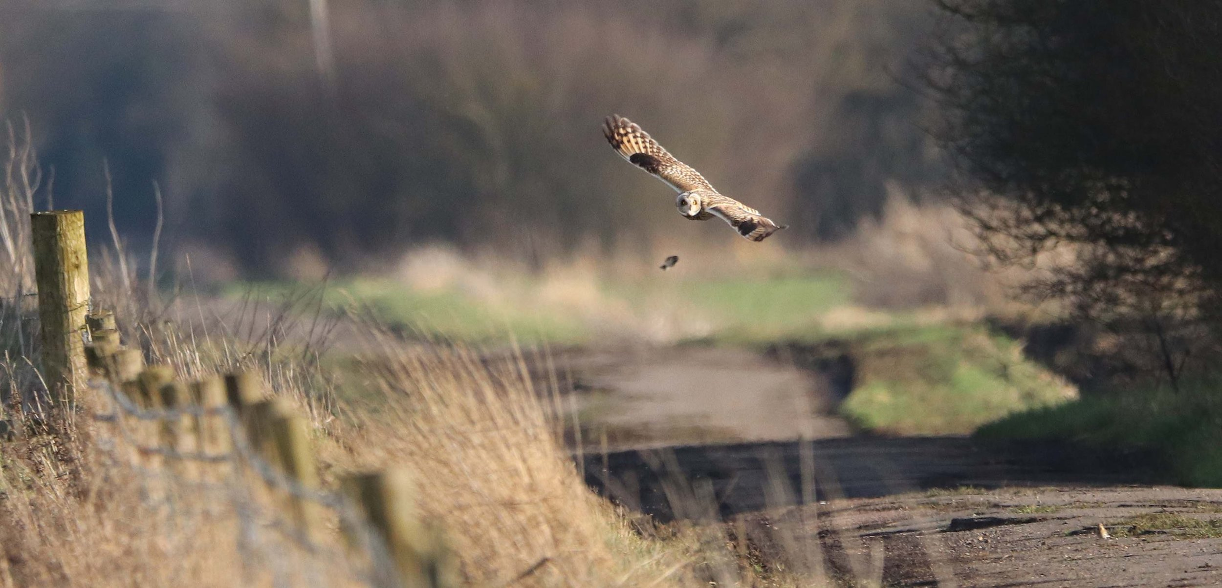 Goldfinch evading a Short Eared owl SF
