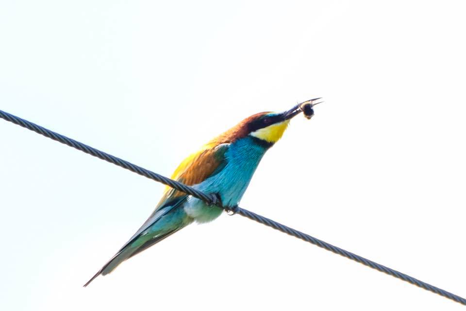 Bee eater eating a bee by Dougie Dingwall