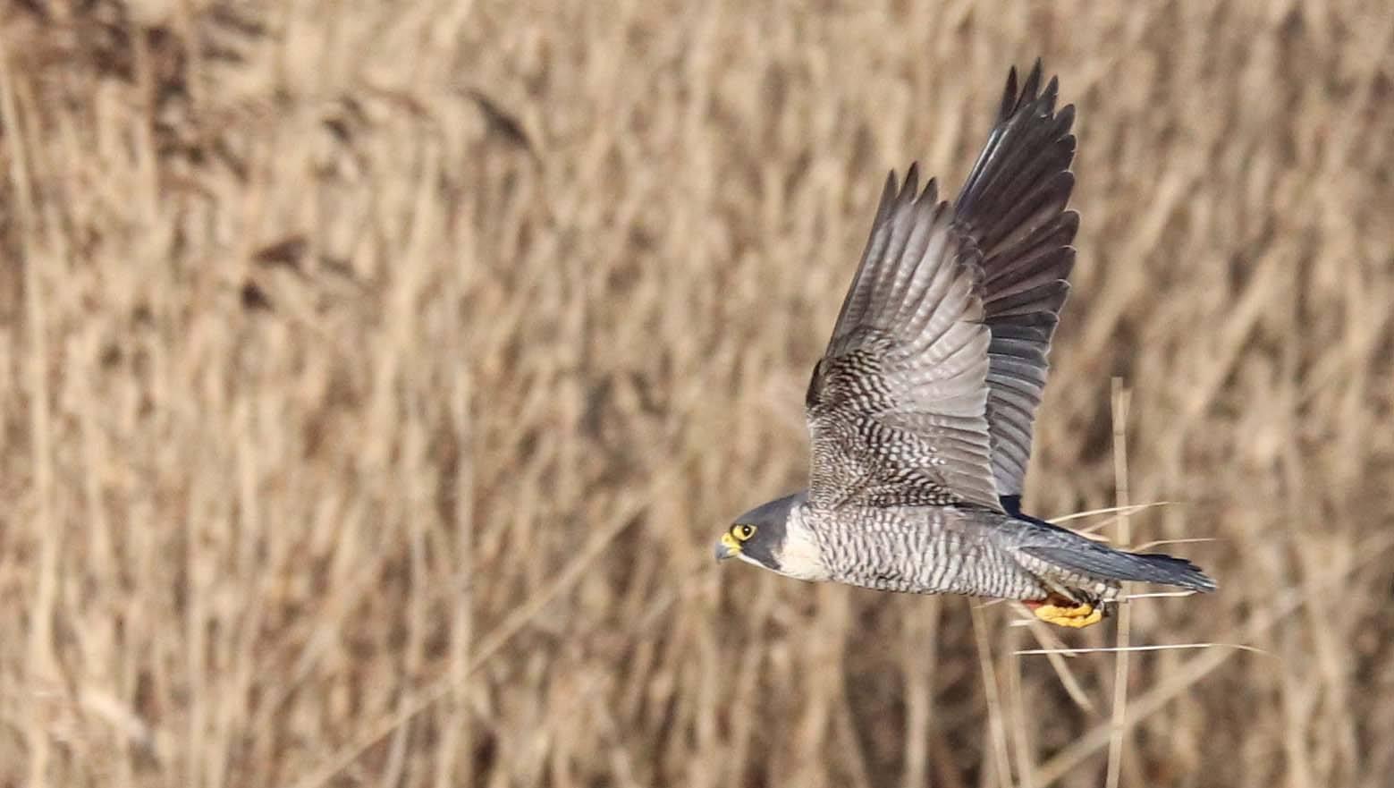 Peregrine Falcon in flight SF