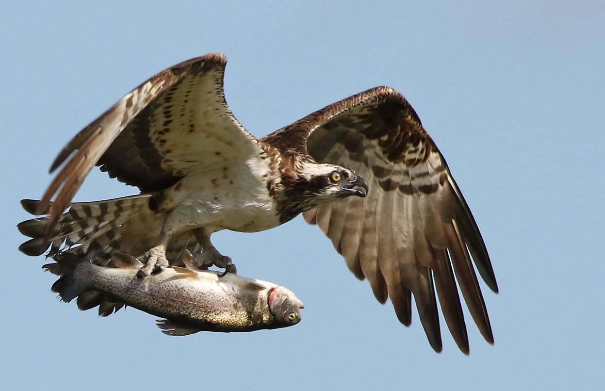Stuart Fox beautiful Osprey.jpg