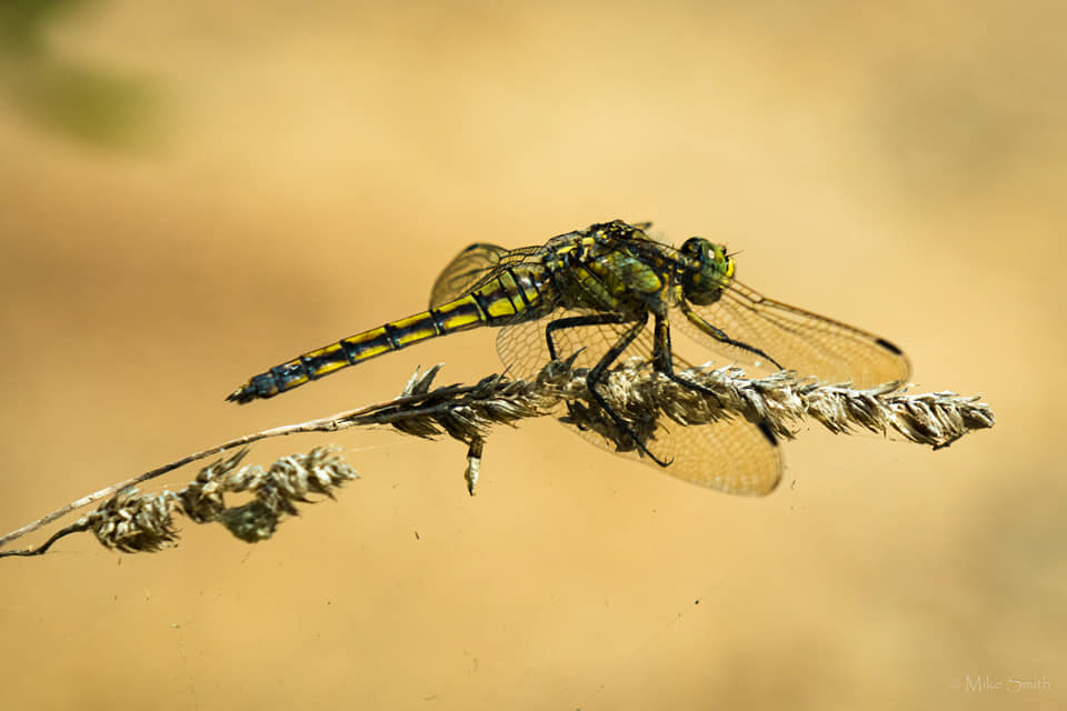 Black tailed skimmer (female) — at S'Albufera Nature Park by Mike Smith.jpg