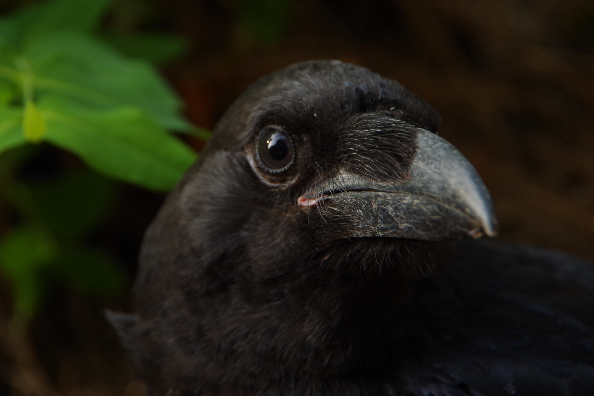 A young raven on La Palma in the Canary Islands by Petra Berendsen.jpg