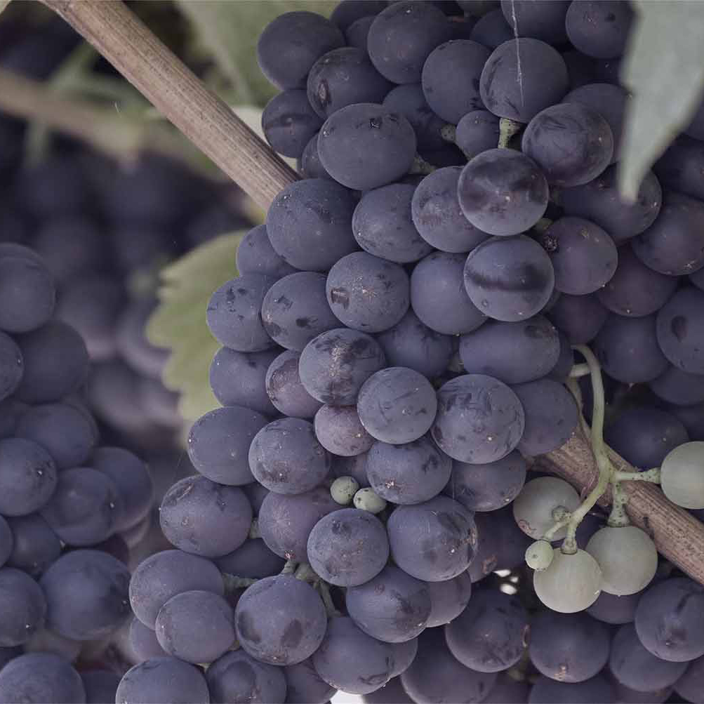 grapeclusters_square.jpg