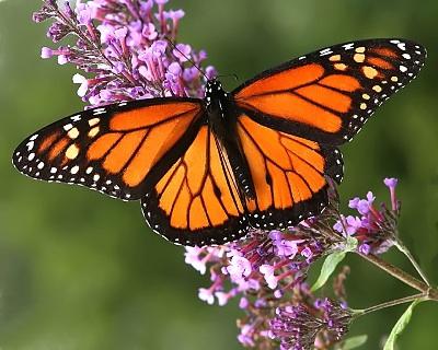 Butterfly walk - Sept. 7