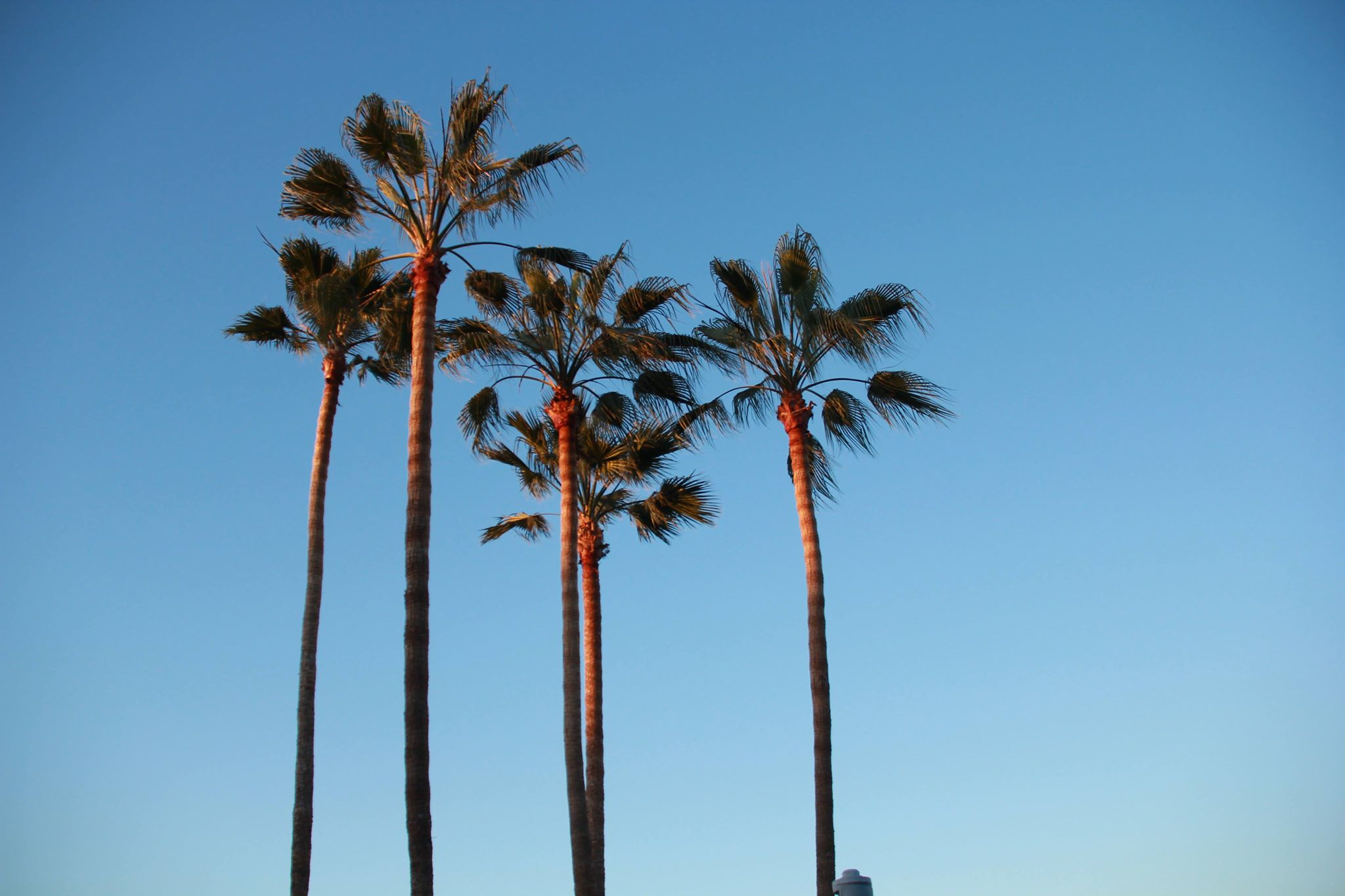 Palm trees in San Jose, California. Photo by Kitty Lo.