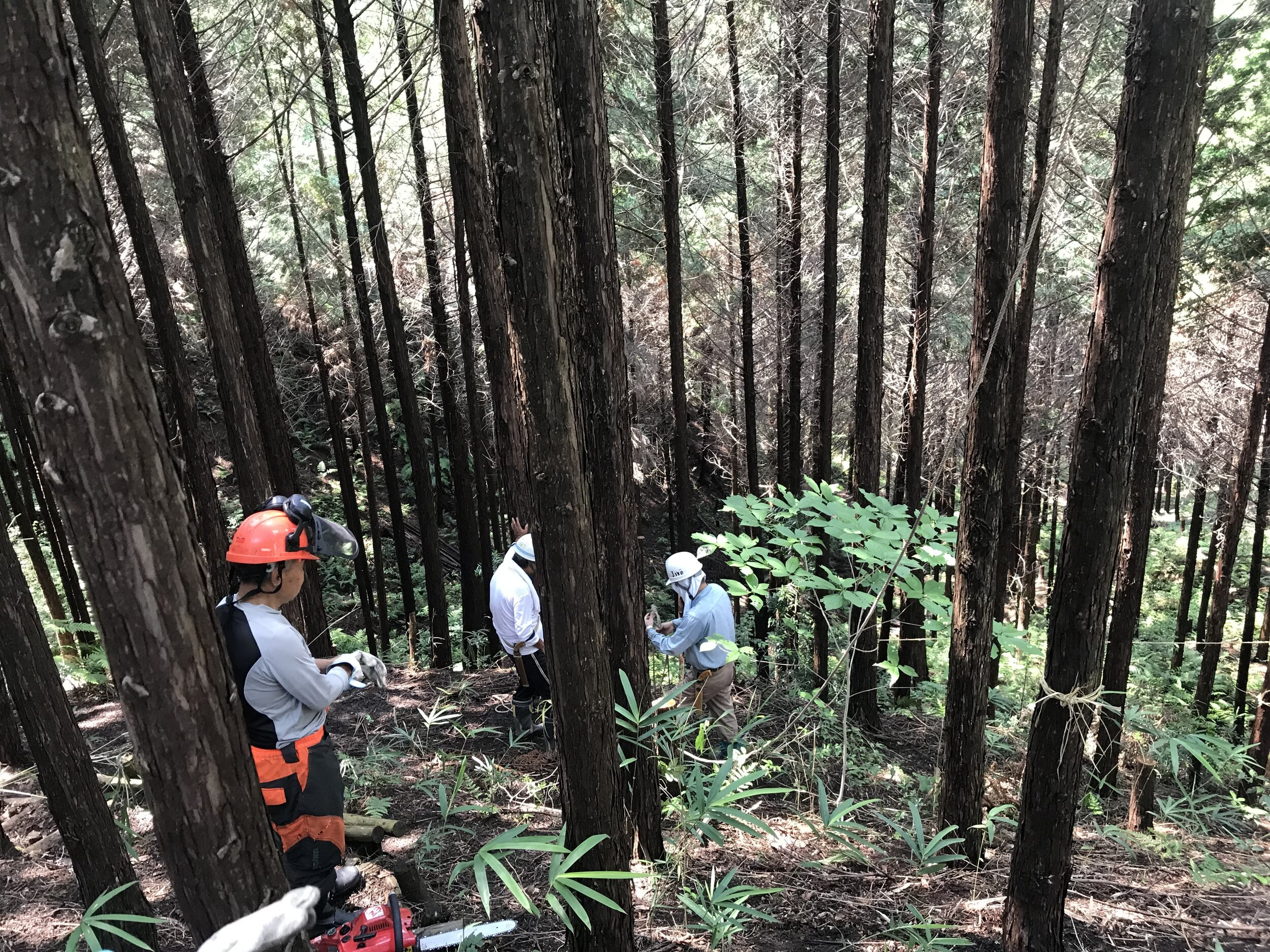 After cutting down the trees, we had to peel the tree because only the core could be used for making artifacts. All the trees after peeling would be carried down the mountain and kept together. Photo Courtesy:  Kaizhao (Zero) Lin