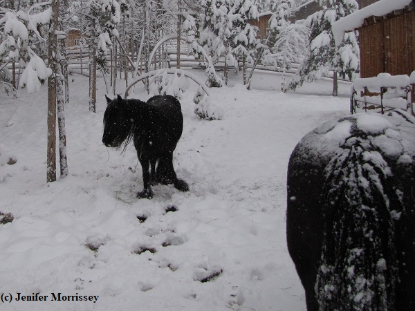 Note how the heavy snow bent over some young trees.  Also note the black pony doesn't have snow on her back, indicating she's quite wet.