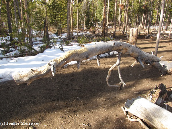 Wood chewing isn't exclusively reserved for fences.  Some pony has worked on this fallen lodgepole tree.