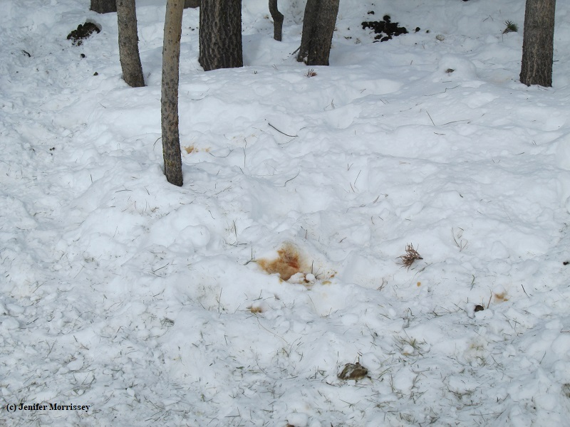 190305 red urine in snow.jpg