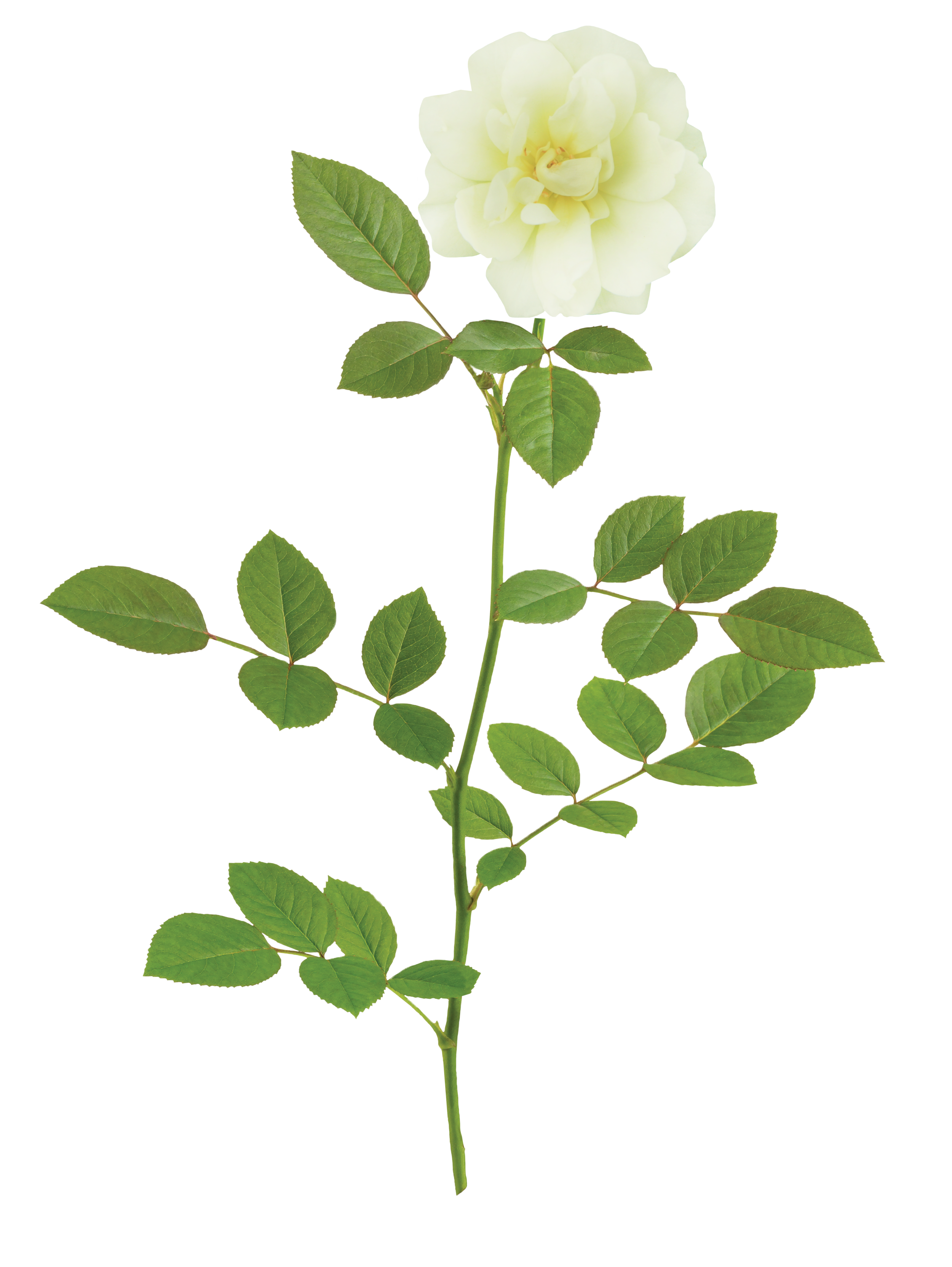 The Popcorn Drift® Rose - 'Novarospop' PP 24,773Popcorn Drift® has soft buttery yellow blooms that fade to a creamy white. This continuous bloomer flowers all season and pairs effortlessly with other plants. This variety can have slight coloration of Peach Drift®.Zones: 4–11 | Exposure: Full sun | Habit: 1½' h x 2' w