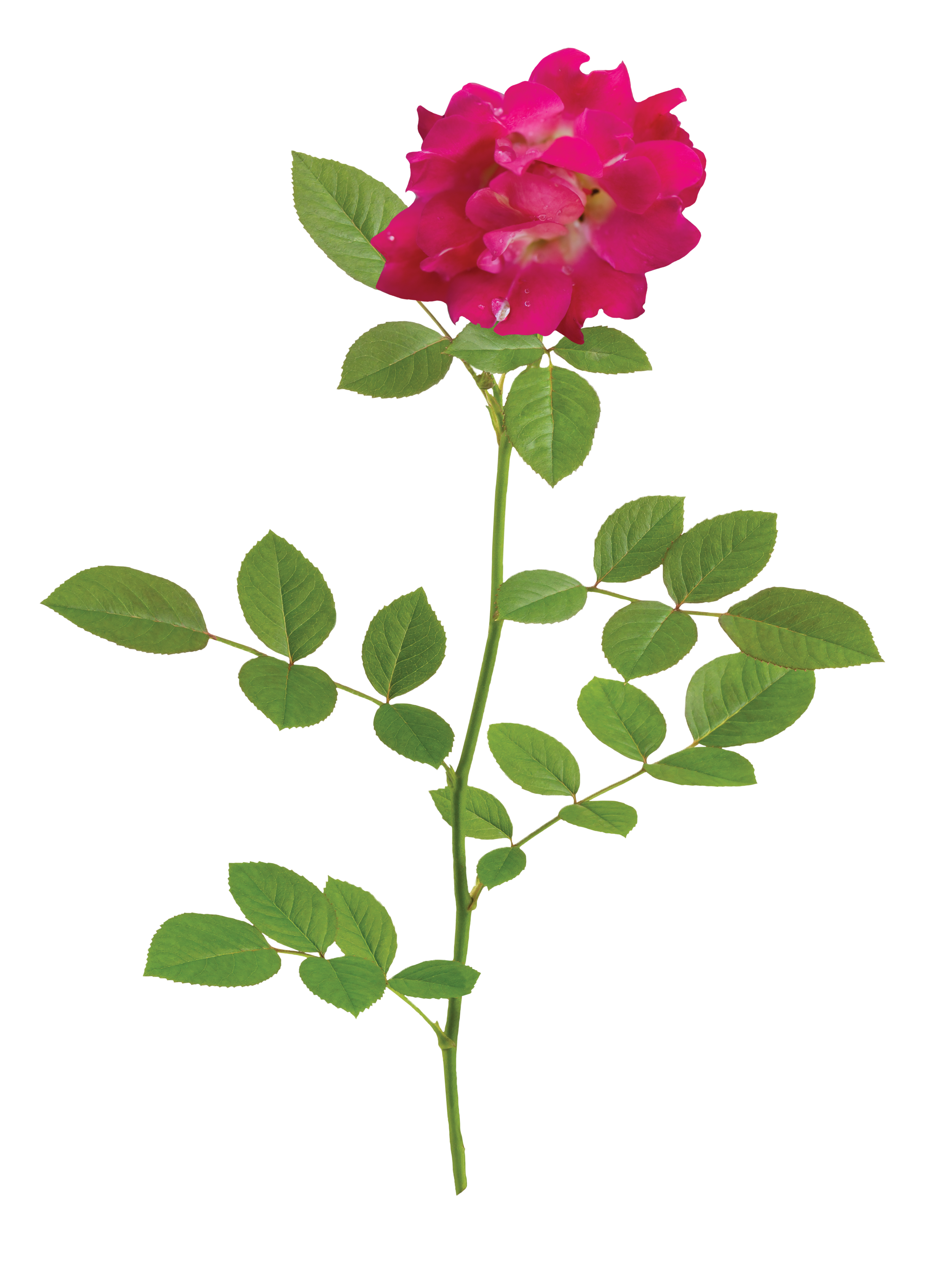 The Red Drift® Rose - 'Meigalpio' PP 17,877The easy nature and natural beauty of Red Drift® lends to the success of this rose. The petite red flowers prove to be an elegant addition to any garden, especially when able to naturally drape over a rock wall or edge.Zones: 4–11 | Exposure: Full sun | Habit: 1½' h x 2½' w